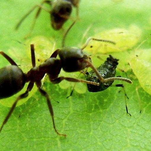 Народные средства борьбы с муравьями на садовом участке